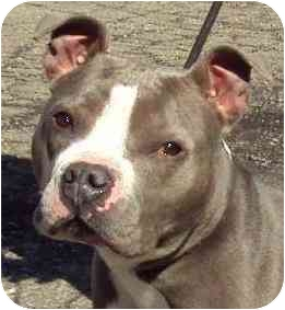 American Staffordshire Terrier Mix Dog for adoption in Danville, Kentucky - Priscilla