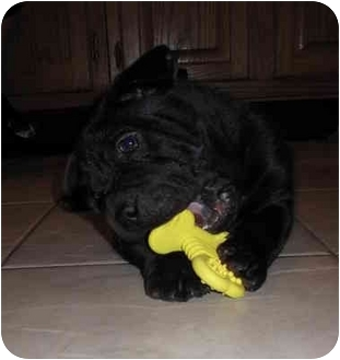 Shar Pei Mix Puppy for adoption in Worcester, Massachusetts - Spanky