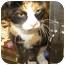 Photo 1 - Calico Cat for adoption in Marseilles, Illinois - Sophia