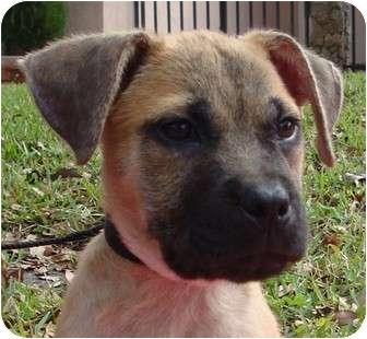 Labrador Retriever/German Shepherd Dog Mix Puppy for adoption in Coral Springs, Florida - Teddy