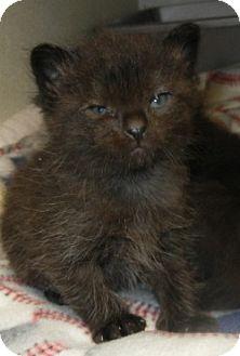 American Shorthair Cat for adoption in Des Moines, Iowa - Bonnie's Kittens