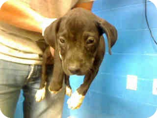 American Pit Bull Terrier Mix Puppy for adoption in Antioch, Illinois - Morticia ADOPTED!!
