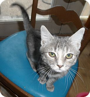 Domestic Shorthair Kitten for adoption in Plano, Texas - THIMBLE - SWEET ORPHAN BABY!!