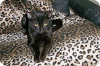 Domestic Shorthair Cat for adoption in Scottsdale, Arizona - Orson