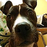 Adopt A Pet :: Santo - Fenton, MI