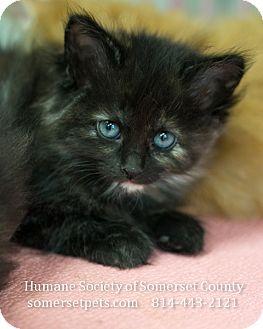 Domestic Shorthair Kitten for adoption in Somerset, Pennsylvania - Penelope