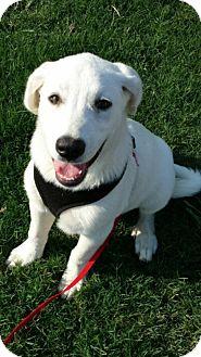 Great Pyrenees/Labrador Retriever Mix Puppy for adoption in Brattleboro, Vermont - Bella