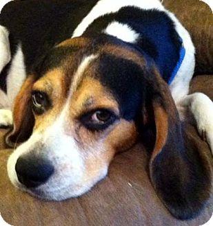 Beagle/Hound (Unknown Type) Mix Dog for adoption in Houston, Texas - Freddie