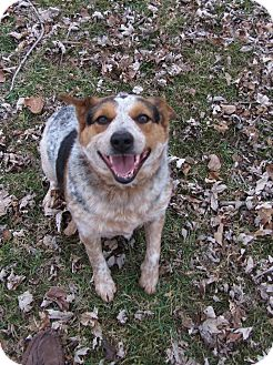 Cattle Dog Dog for adoption in Great Falls, Virginia - Rosie