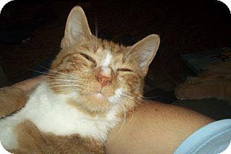 Domestic Shorthair Cat for adoption in Crestview, Florida - Gumdrop