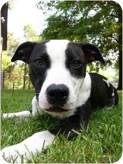 American Staffordshire Terrier/American Bulldog Mix Dog for adoption in Mocksville, North Carolina - Geena