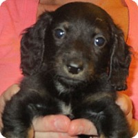 Adopt A Pet :: Anika - Salem, NH