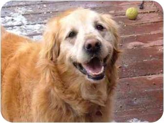 Golden Retriever Mix Dog for adoption in Golden, Colorado - Tresi