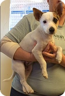 Jack Russell Terrier Mix Puppy for adoption in Kirby, Texas - Amy Doghouse