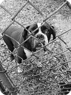 American Bulldog/English Bulldog Mix Dog for adoption in Coats, North Carolina - Maverick (12-23-15)
