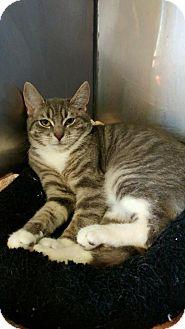 Domestic Shorthair Kitten for adoption in Wantagh, New York - Jovie
