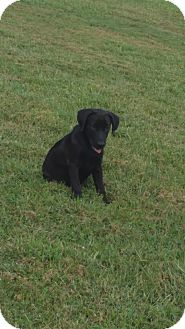 Labrador Retriever/Shepherd (Unknown Type) Mix Puppy for adoption in Warrenton, North Carolina - Lily