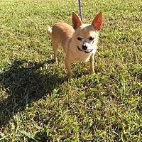Chihuahua Dog for adoption in Baton Rouge, Louisiana - Jojo