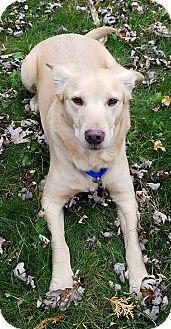 Labrador Retriever/Corgi Mix Dog for adoption in Palatine, Illinois - Luke