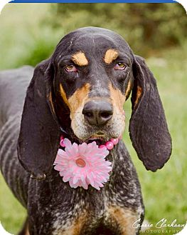 Coonhound (Unknown Type) Mix Dog for adoption in Zanesville, Ohio - Sklyer - ADOPTED!