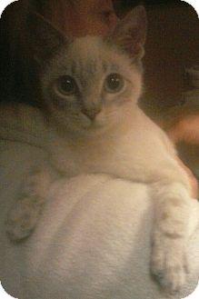 Siamese Kitten for adoption in Media, Pennsylvania - Fresno