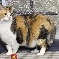 Calico Cat for adoption in mishawaka, Indiana - Wonderful
