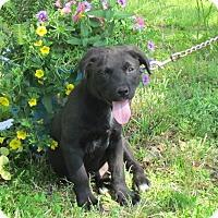 Adopt A Pet :: SAWYER - Bedminster, NJ