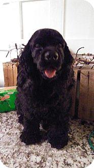 Cocker Spaniel Mix Dog for adoption in Arlington, Texas - Bubba