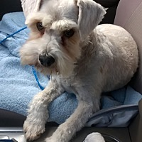 Schnauzer (Standard)/Terrier (Unknown Type, Small) Mix Dog for adoption in Lehi, Utah - Simba