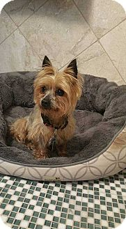 Yorkie, Yorkshire Terrier Mix Dog for adoption in Ardsley, New York - Minnie