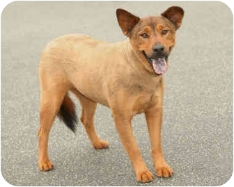 Shepherd (Unknown Type) Mix Puppy for adoption in Marina del Rey, California - Ginger