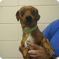 Adopt A Pet :: Scooby - Reno, NV