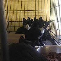 Domestic Shorthair Kitten for adoption in Bishopville, South Carolina - Tuxedo and Black Kittens