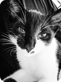 Domestic Shorthair Cat for adoption in Columbus, Ohio - Storm