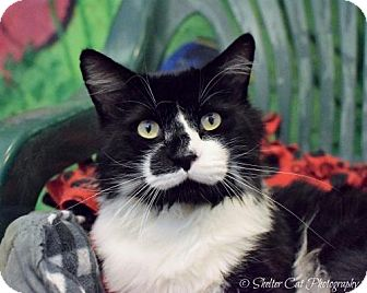 Domestic Mediumhair Cat for adoption in Lakewood, Colorado - Donnie
