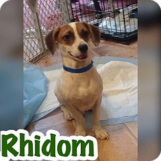 Terrier (Unknown Type, Small)/Dachshund Mix Puppy for adoption in Smithtown, New York - Rhidom