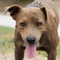 Adopt A Pet :: Bobby - San Antonio, TX