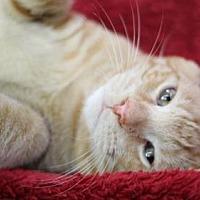 Adopt A Pet :: Hadley - Raleigh, NC