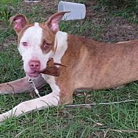 Adopt A Pet :: Terrian - Summerville, SC