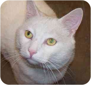 Domestic Shorthair Cat for adoption in Annapolis, Maryland - Atlas