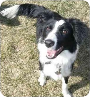Border Collie Mix Dog for adoption in Denver, Colorado - Ellie