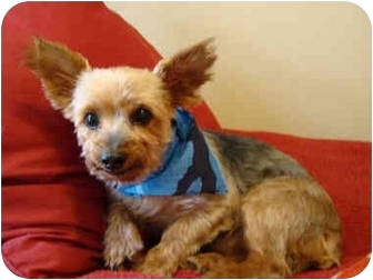 Yorkie, Yorkshire Terrier Dog for adoption in Ocala, Florida - Scooby