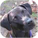 Labrador Retriever Mix Dog for adoption in Eatontown, New Jersey - Delilah