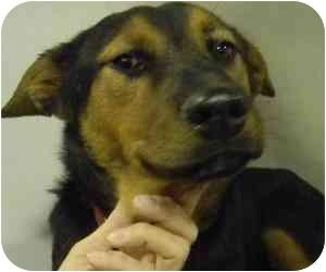 German Shepherd Dog Mix Dog for adoption in Kansas City, Missouri - Courtesy List-Lyndi {Foster}
