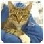 Photo 1 - Domestic Shorthair Cat for adoption in San Clemente, California - DIESEL