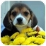 Photo 2 - Beagle Puppy for adoption in Westfield, New York - Shiloh