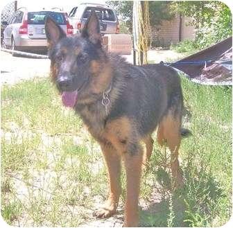 German Shepherd Dog Mix Dog for adoption in Denver, Colorado - Max