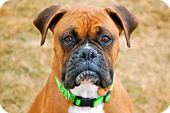 Boxer Mix Dog for adoption in Meridian, Idaho - Seass