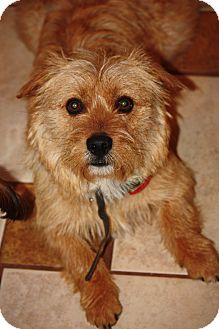 Wheaten Terrier/Silky Terrier Mix Dog for adoption in Prince William County, Virginia - buddy