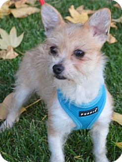 Terrier (Unknown Type, Small) Mix Puppy for adoption in West LA, California - SIMON